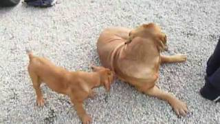 80kg French Mastiff Wrestles With Puppy