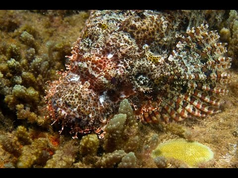 Diving with a Tasseled Scorpionfish