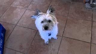 Cairn Terrier Temper Tantrum