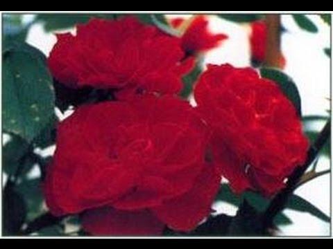 roses reines des fleurs rempotage arrosage entretien. Black Bedroom Furniture Sets. Home Design Ideas