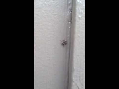 Help give this jumping spider a common name | Arthropod Ecology