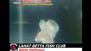 IKAN CUPANG - MARTA FARM FISH - LAHAT BETTA FISH CLUB - WHITE  HALFMOON