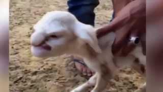 Hombre Se Casa Con Cabra, Y Nace Cabra Con Cara De Humano