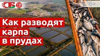 Как разводят карпа в прудах | Сделано в Беларуси