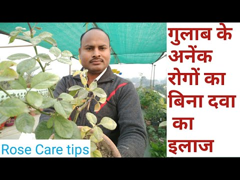Rose Diseases Treatment Without Pesticide