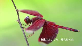 This video is about 赤とんぼ.