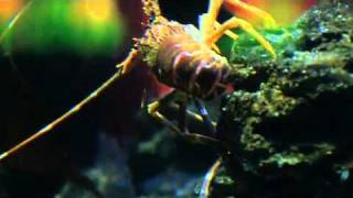West Coast rock lobster, Two Oceans Aquarium, Cape Town, South Africa