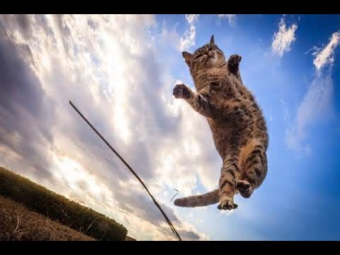 How high can you cat jump?