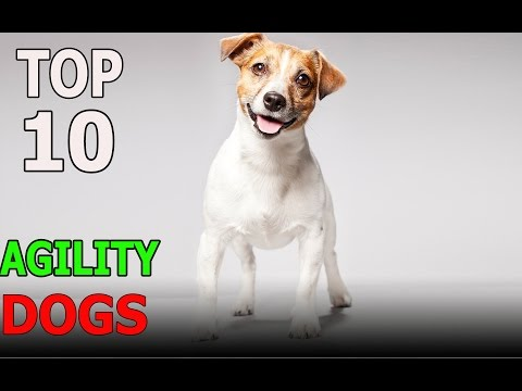 Top 10 Agility Dog Breeds | Top 10 animals
