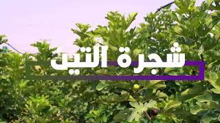 شجرة التين معلومات عن المكان المناسب لزراعة شجر التين وطريقة الري والتسميد والوقاية من الافات