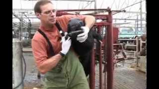 Administering Oral Medications to Dairy Cows