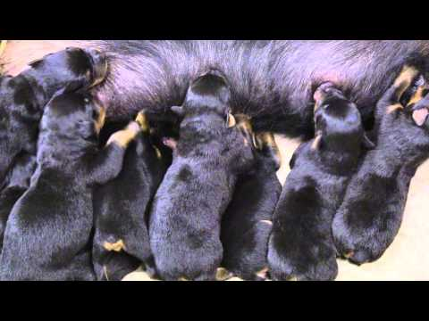 Yezzi With 10 Puppies Day 1 - 6 [AKC German Rottweiler]