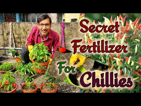 Secret Fertilizer mix for CHILLIES for Getting Tons of Fruits / Get Maximum fruits in Peppers