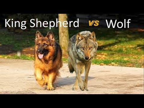 King Shepherd Vs Wolf