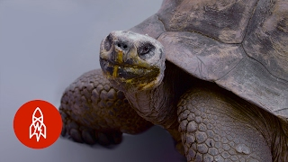 The Galapagos Giant Tortoise on a Comeback