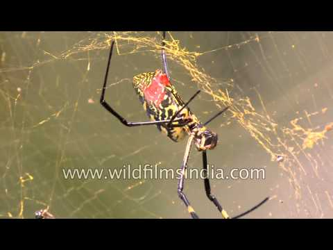 Giant spider builds web - Sikkim