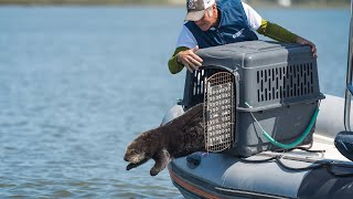 Rescue and Release: The Monterey Bay Aquarium's Sea Otter Program
