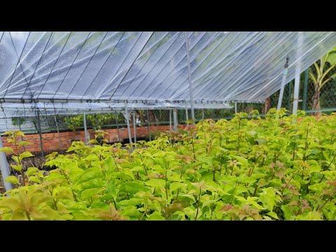Cách trồng hoa giấy l Vào mùa mưa l Xem vườn hom giống thái.