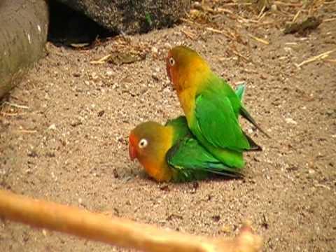 fischer's lovebird XXX-rated