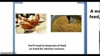 Chicken Supplies For Your Backyard Chickens
