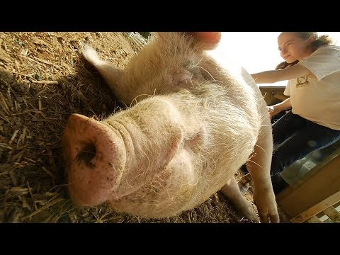 Improving the Lives of Farm Animals   The Humane Society of
