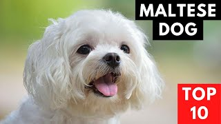 MALTESE DOG  Top 10 FACTS About A Maltese