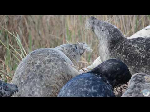 Загадки лежбищ Каспийского тюленя. 2016