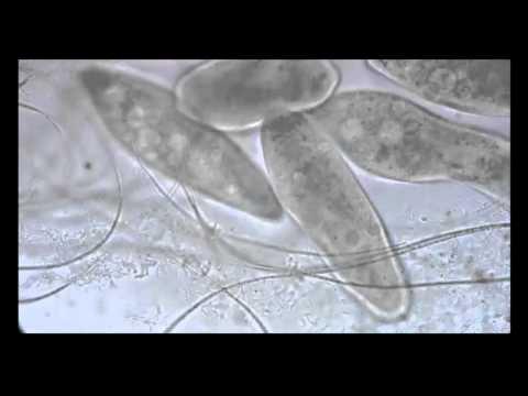 Euglena - Longitudinal binary fission | Doovi