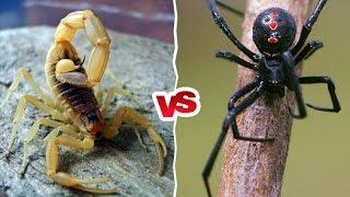 Scorpion Vs Spider   Wildlife