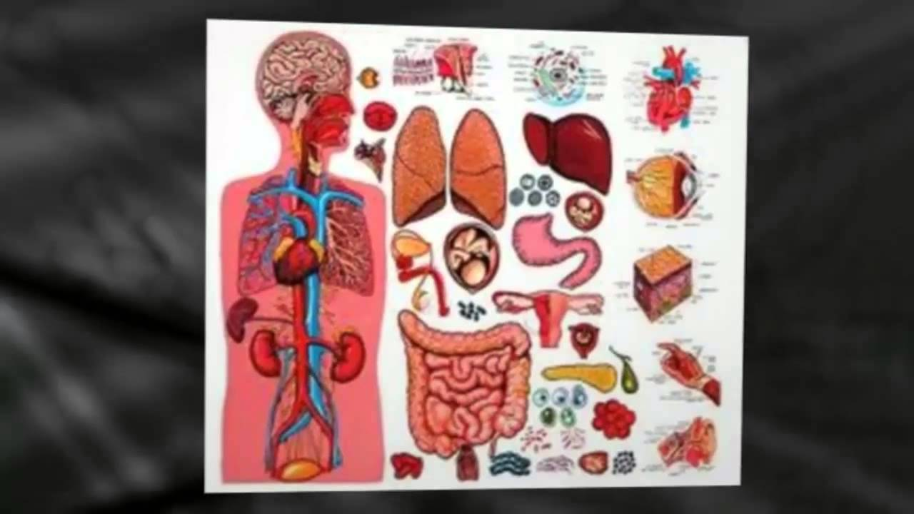 Diagram of the Human Body Organs - YouTube