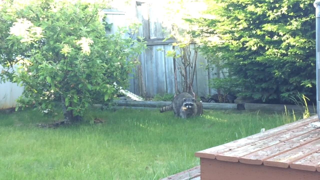 Raccoons in My Backyard - YouTube