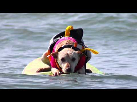 Sugar the Huntington Beach Surf Dog