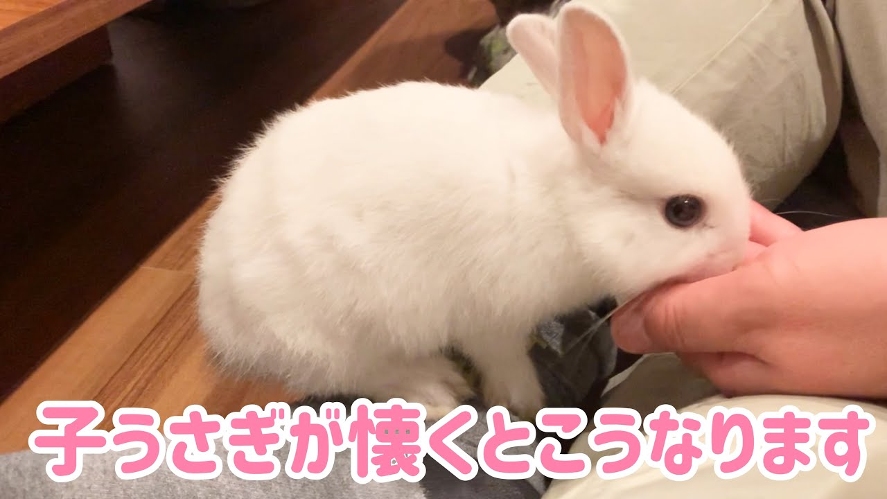 #50 生後1.5ヶ月の子うさぎが手からご飯を食べるのが可愛い!子うさぎが懐くとこうなります。It's cute 1.5-month-old rabbit eats food from hands!