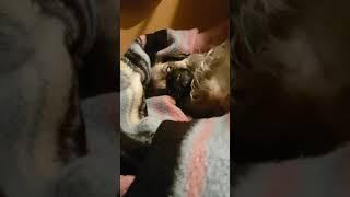 SCARED! Exorcist pekingese dog