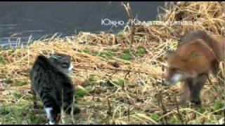 Знакомство кота и лисы!
