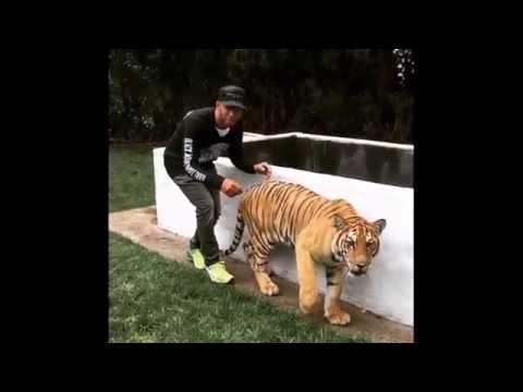 Напугал тигра
