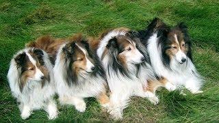 Собаки породы Шелти!