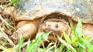 Спасаем с дороги агресивную  черепаху . Каймановая черепаха .Snapping Turtle