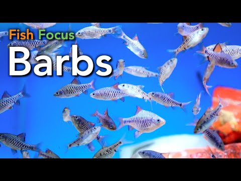 Fish Focus - Barbs