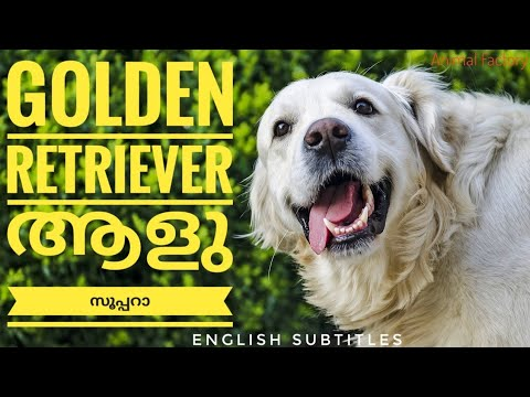 Golden Retriever Facts | Malayalam | Animal Factory