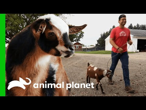 Blind Goat Is Perfect Roommate For Plucky Kid In Recovery   Saved By The Barn