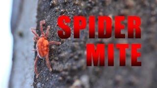 Spider Mite Facts