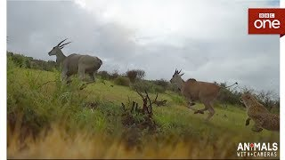Three cheetahs hunt a mother antelope and her baby - Animals With Cameras: Episode 2 | BBC One