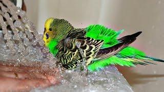 как ПОМЫТЬ ПОПУГАЯ.  ВОЛНИСТЫЙ попугай КУПАЕТСЯ. волнистый попугай поет