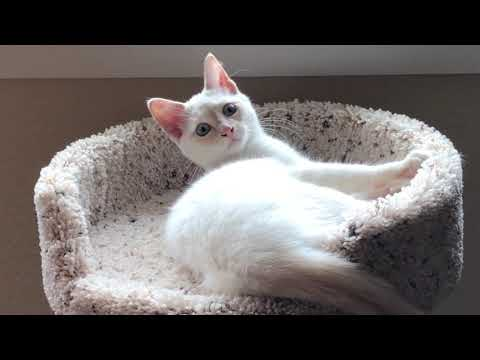 Introducing Lily - Our Rambunctious Flame Point Siamese Kitten