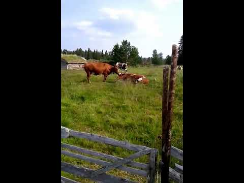 Cows in Rendal