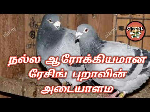 """""""நல்ல ஆரோக்கியமான"""" ரேசிங் புறாவின் அடையாளம்   Signs of a good healthy Racing pigeon"""