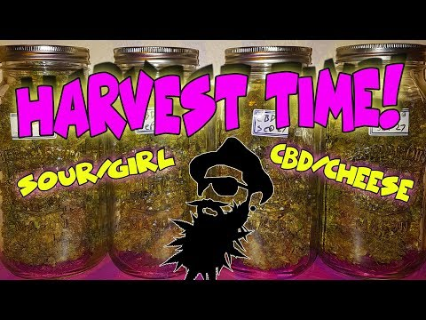HARVEST TIME!  85 days from seed – How to grow AutoFlowers – CBD CHEESE & SOURGIRL (crop king seeds)