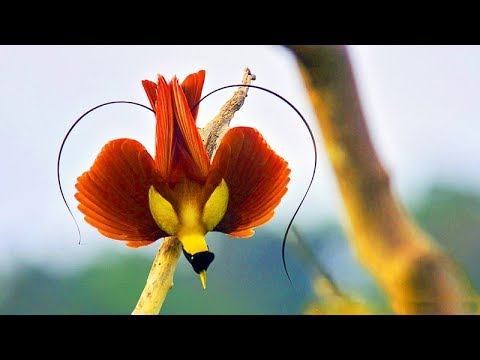 Amazing Birds Of Paradise : Best Documentary Of All Time