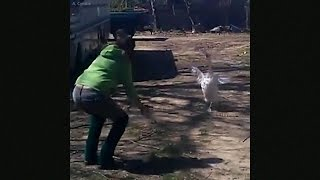 гусь радуется встрече с хозяйкой / Goose is so happy to see his friend
